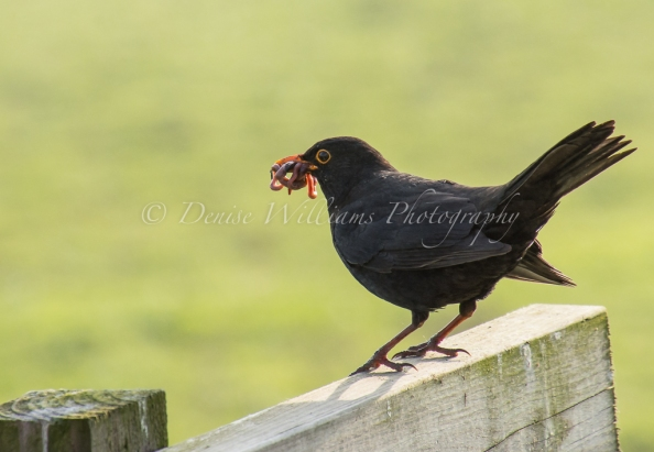 Busy blackbird in the garden of our holiday let collecting food for his brood