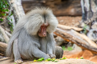 Baboon at Perth Zoo