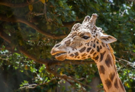 Giraffe at Perth Zoo