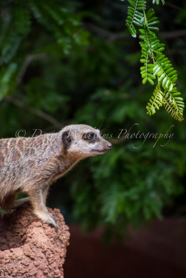 Meerkat at Perth Zoo