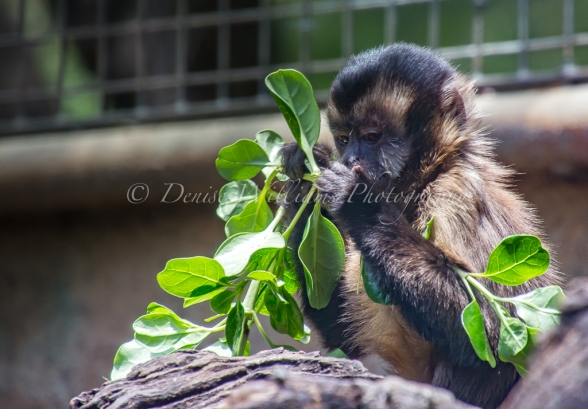 Young monkey at Perth Zoo