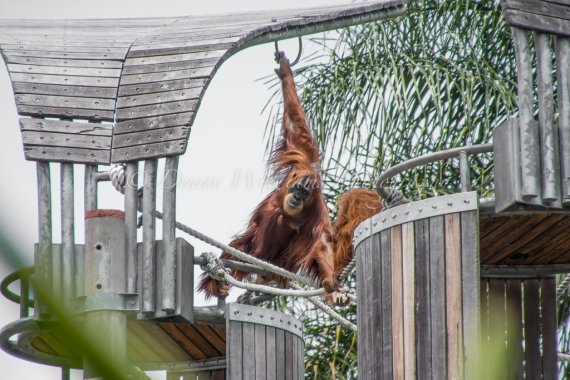 Orangutan at Perth Zoo