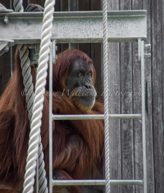 Gentle giant - Orangutan at Perth Zoo - such a wistful and sad expression on his face - I could have watched him all day