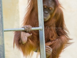 Young Orangutan at Perth Zoo