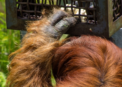 Orangutan at Perth Zoo - trying to access food from a locked box