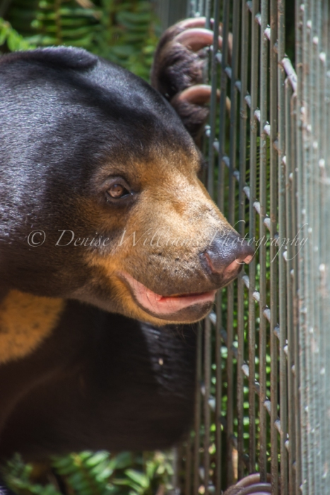 Sun Bear at Perth Zoo