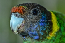 Friendly local Rainbow Lorikeet