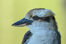 Friendly local Kookaburra 1