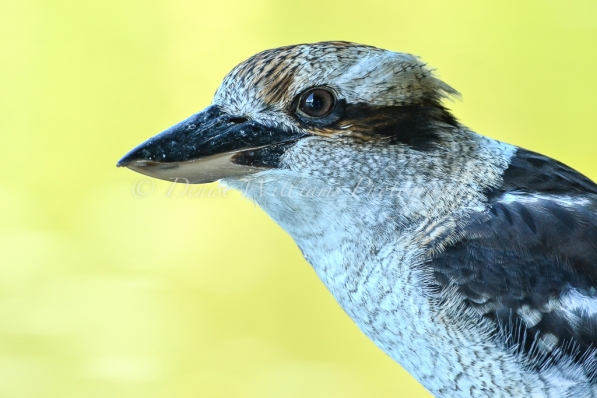 Friendly local Kookaburra 2