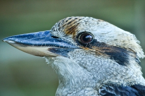 Friendly local Kookaburra 3
