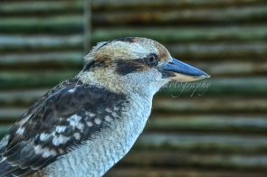 Friendly local Kookaburra 4