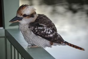 Friendly local Kookaburra 5