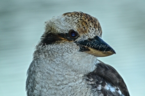 Friendly local Kookaburra 6