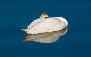 Pagham Swan