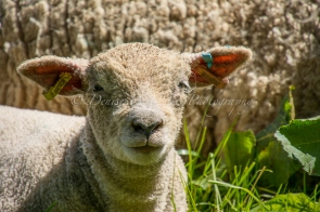 Lamb at Weald & Downland Museum