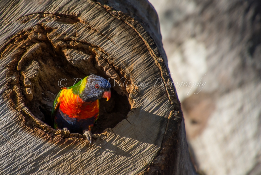 rainbow-parakeet-3
