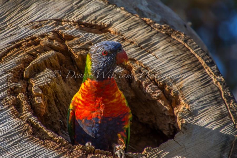 rainbow-parakeet-4