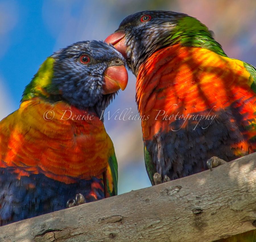 rainbow-parakeet-5
