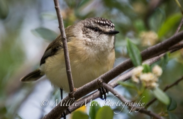 Not quite sure what this bird is, maybe a Pardalote or Yellow Rumped Thornbill