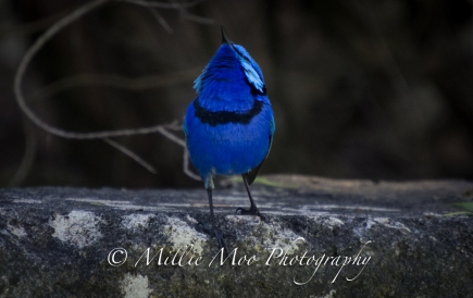 Splendid Blue Wren with its attention turned to the sky!