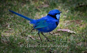 Splendid Blue Wren