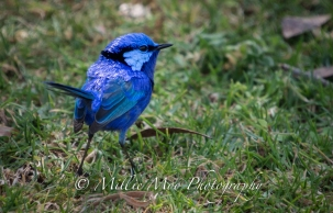 Splendid Blue Wren