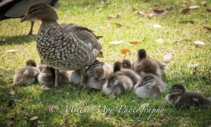 Australian Wood Duck with her brood of 13!