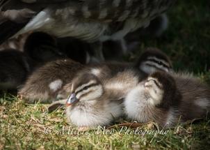 Australian Wood Duckling