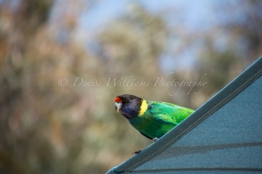 Twenty Eight Parrot on the look out for food at Yanchep Historic Inn - Yanchep National Park