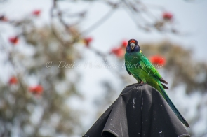 Twenty Eight Parrot on the look out for food at Yanchep Historic Inn - Yanchep National Park (2)