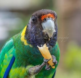 Twenty Eight Parrot at Yanchep Historic Inn - Yanchep National Park (2)