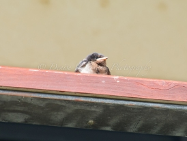 Baby swallow waiting for parent to return with food - Yanchep National Park