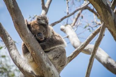 Koala - Yanchep National Park