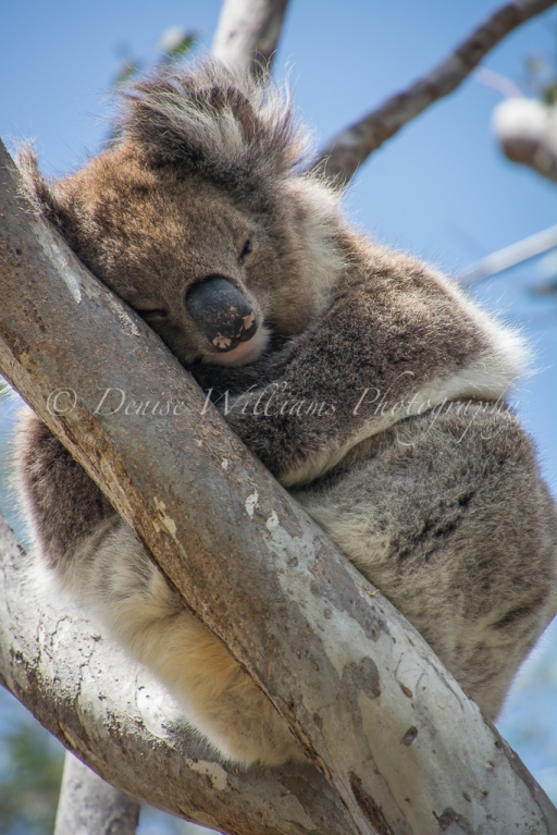 Koala - Yanchep National Park (2)