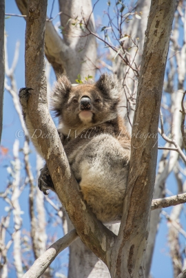 Koala - Yanchep National Park (3)