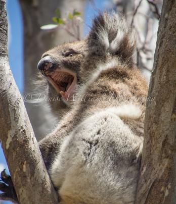 Koala - Yanchep National Park (4)