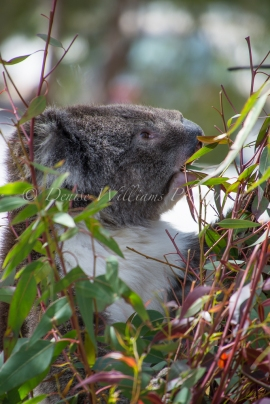 Koala - Yanchep National Park (5)