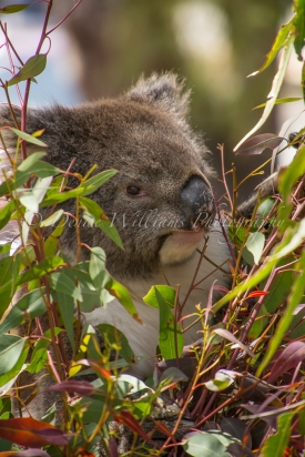 Koala - Yanchep National Park (7)