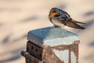 Swallow at Monkey Mia, Shark Bay - Western Australia