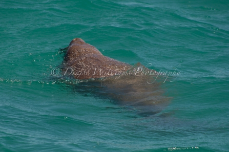 We got a brief glimpse of the elusive Dugong (10,000 population in the area but we only saw one aboard Longshot) at Monkey Mia, Shark Bay - Western Australia