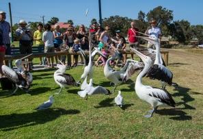 Pelican feeding at Kalbarri, Western Australia