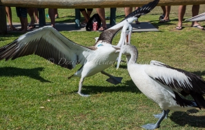 A disagreement over a fish! - Kalbarri, Western Australia