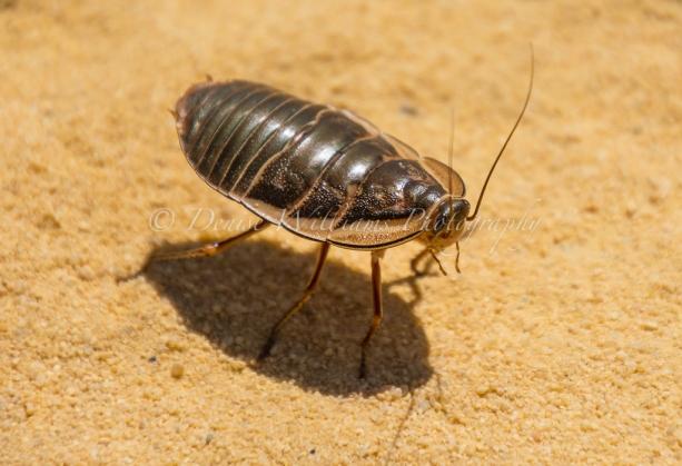 Australian bush cockroach at Kalbarri, Western Australia