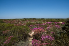 Wildflowers at Kalbarri, Western Australia