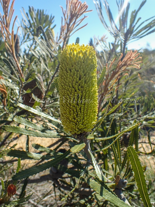 Banksia, The Pinnacles Desert, Western Australia