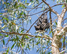 Bat at Fern Pool, Karijini, Western Australia