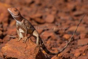 Lizard at Karijini, Western Australia