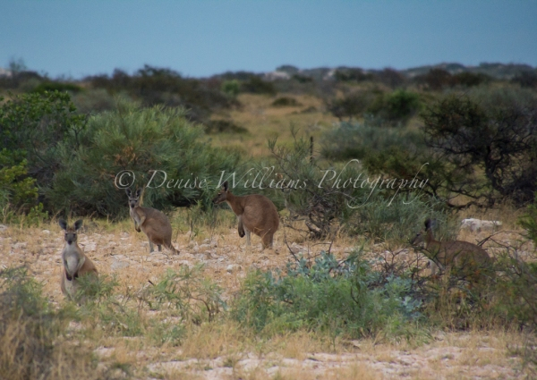 Kangaroos at Exmouth, Western Australia