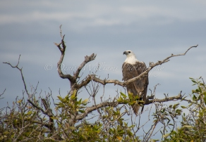 I think this may be a Sea Eagle at Mangrove Bay nr Exmouth, Western Australia