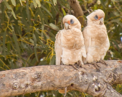 White Cockatoos - Yardie Creek Nr Exmouth, Western Australia